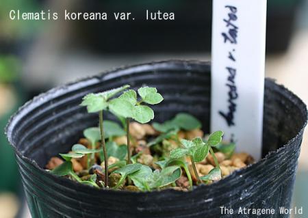 koreana lutea2006200901