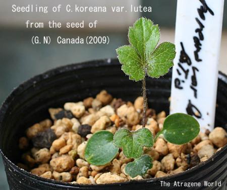 koreana lutea2806200904