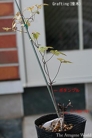 graftingfaurieiA1908200901.jpg