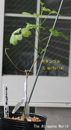 graftingfusidoublen40808200902.jpg