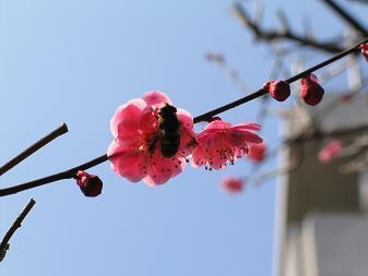 ハチさん梅の蜜はおいしい?