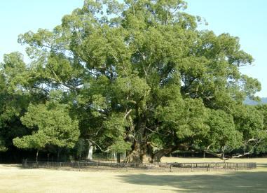 この樹なんの樹