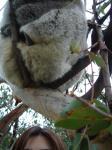 野生コアラと私