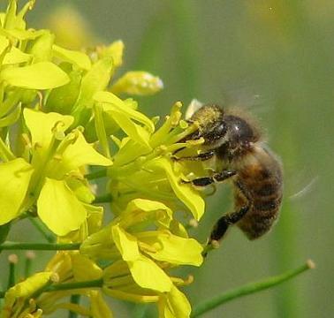 カラシナとハチ