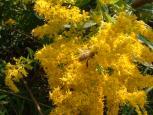 日本蜜蜂とアワダチソウ
