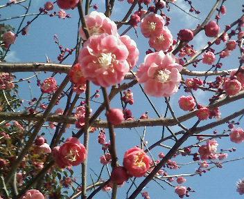 梅(ピンク)花