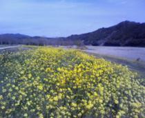 菜の花(川岸)