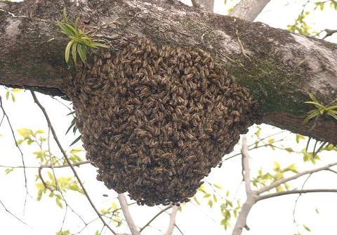 日本蜜蜂分蜂