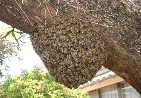 日本蜜蜂分蜂(柿の木)