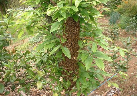 分蜂群(西洋蜜蜂)