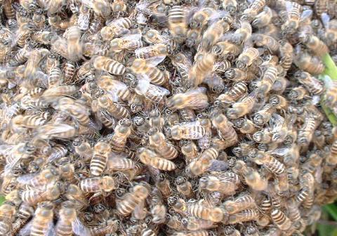 蜜蜂、アップ
