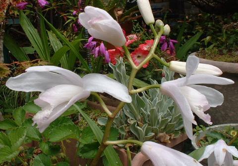 紫蘭(白)