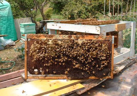 巣脾枠(蜜蜂清掃)