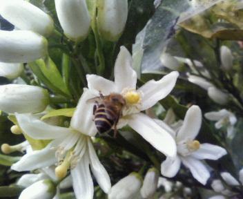 ミカン花と蜜蜂