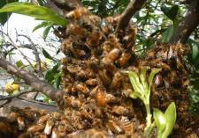 分蜂、王蜂