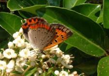 サンゴジュと蝶