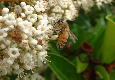 サンゴジュ、蜜蜂