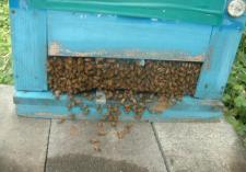 巣門、蜜蜂