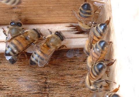 蜜蜂、砂糖液吸引