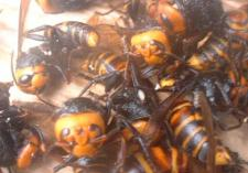 スズメバチ拡大