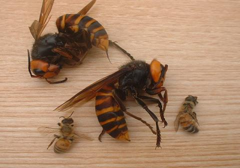 スズメバチと蜜蜂