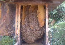 日本蜜蜂の巣箱内