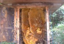 蜂移動後の巣