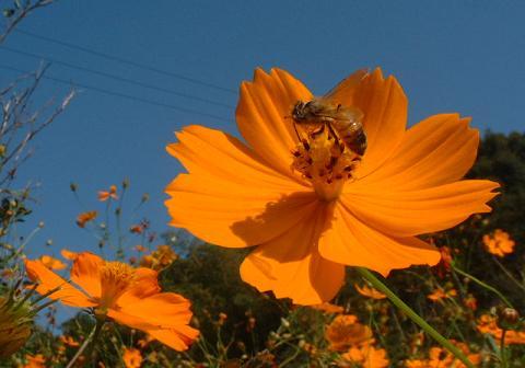 黄花コスモスと蜜蜂