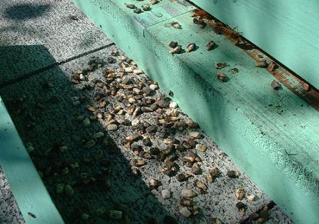 巣門前、蜂児死骸