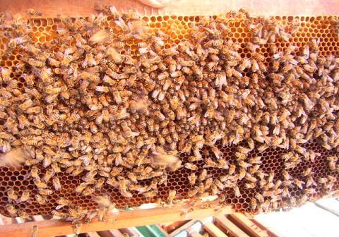 巣脾蜜蜂アップ