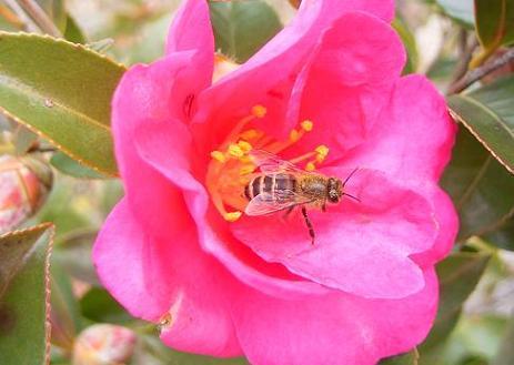 山茶花・日本蜜蜂