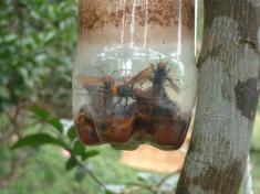 スズメバチ捕獲