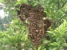 分蜂群の集合