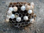 アシナガバチ巣