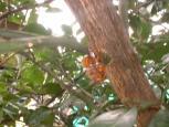 キイロスズメバチ肉ダンゴ