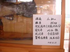 アカメ標本説明