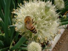 ネギと蜜蜂