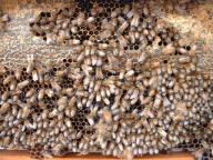 巣脾ミツバチ