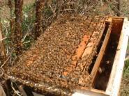分蜂群を収容中