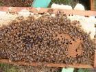 巣脾、蜜蜂