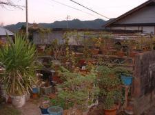 鉢植(庭)