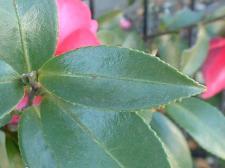 山茶花の葉