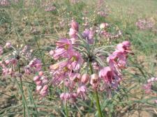 ラッキョウ花
