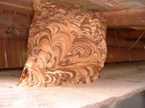 コガタスズメバチ巣