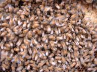 ミツバチ巣枠