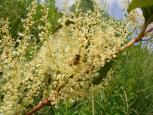 イタドリ+ミツバチ