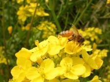 蜜蜂と花粉