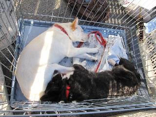 子犬さんとコーギー