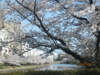 桜・満開.jpg
