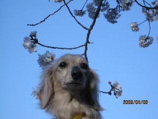 なつ・桜1.jpg